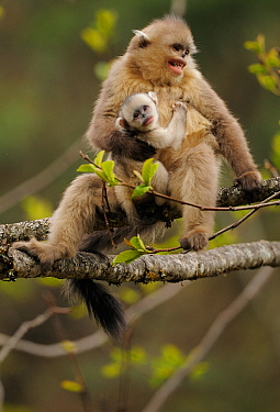 Yunnan Snub-nosed monkey (Rhinopithecus bieti) mother and baby, Ta Chen NP, Yunnan province, China