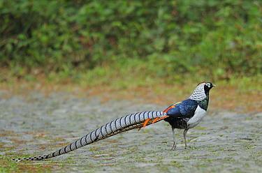 Lady Amhersts pheasant (Chrysolophus amherstiae) Dali, Yunnan province, China