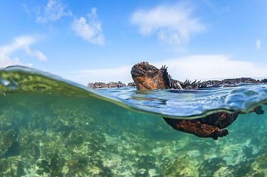 Marine iguana (Amblyrhynchus cristatus), Punta Espinosa, Fernadina Island, Galapagos