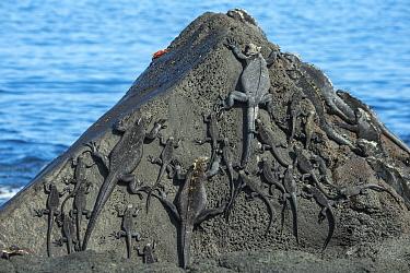 Marine iguana (Amblyrhynchus cristatus) group on rocks, Cape Douglas, Fernandina Island, Galapagos