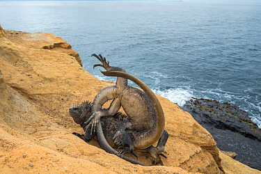 Marine iguanas (Amblyrhynchus cristatus) fighting, Punta Vicente Roca, Isabela Island, Galapagos