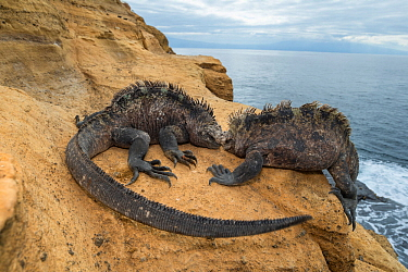 Marine iguana (Amblyrhynchus cristatus), Punta Vicente Roca, Isabela Island, Galapagos