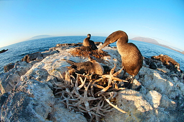 Flightless Cormorant (Nannopterum / Phalacrocorax harrisi) with chick at nest, made from dead starfish. Banks Bay, Isabela Island, Galapagos Islands, Ecuador, December.