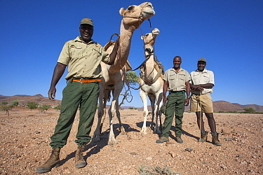 Save the Rhino Trust camel camp patrol teams Hans Ganaseb (left) and Dansiekie Ganaseb with Simson Uri-Khob (no hat) and camels, Kunene region, Namibia, May 2013