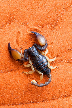 African yellow leg scorpion (Opistophthalmus carinatus) on sand, Tswalu Kalahari game reserve, Northern Cape, South Africa, January