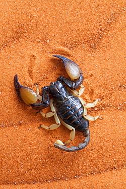 African yellow leg scorpion (Opistophthalmus carinatus) on sand, Tswalu Kalahari game reserve, Northern Cape, South Africa, January