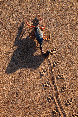 Black hairy thicktailed scorpion (Parabuthus villosus), Namib Desert, Namibia, April