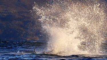 Killer whale / orca (Orcinus orca) splashing with tail fluke. Kvaloya, Troms, Norway October Sequence 5 of 5