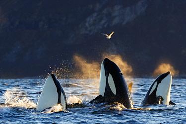 Killer whales / orcas (Orcinus orca). Spyhopping. Kvaloya, Troms, Norway October
