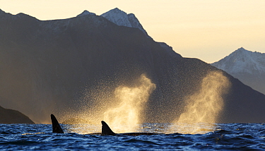 Killer whales (Orcinus orca) surfacing and blowing, spray backlit by autumn light, Kvaloya, Troms, Norway October