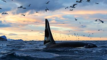 Killer whale / orcas (Orcinus orca) male. Kvaloya, Troms, Norway November