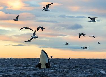 Killer whales / orcas (Orcinus orca). Spyhopping. Kvaloya, Troms, Norway November