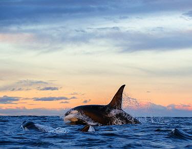 Killer whale / orca (Orcinus orca). Kvaloya, Troms, Norway November