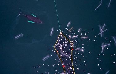Aerial view of Humpback whales (Megaptera novaeangliae) investigating Herring (Clupea harengus) caught in fishing net, with gulls,. Kvaloya, Troms, Norway. December. November