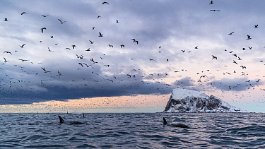 Killer whales / orcas (Orcinus orca) and massive amount of gulls. In background the island Haja. Kvaloya, Troms, Norway. January. November
