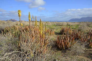 Aloe vera, an Arabian plant cultivated for medicinal uses, flowering wild on steppe scrubland on Teguise Plain, Lanzarote, Canary Islands, February.
