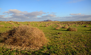 Steppe scrubland on Teguise Plain, Lanzarote, Canary Islands, February 2018.