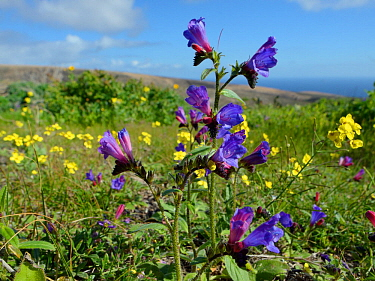 Lanzarote bugloss (Echium lanzarottense / lancerottense), an endemic species to the island, and Canary crucifer (Erucastrum canariense) a Canaries endemic, flowering near Haria, Lanzarote, Canary Isla...