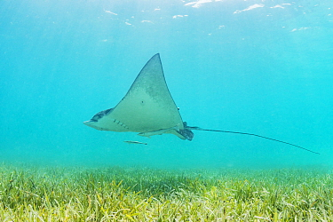 White spotted eagle ray (Aetobatus narinari) swimming over a Seagrass meadow, off Eleuthera, Bahamas.
