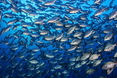 School of Bermuda chub (Kyphosus Sectatrix). Image made off Eleuthera, Bahamas.