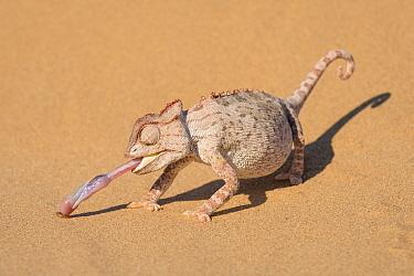 Namaqua chameleon (Chamaeleo namaquensis) catching larvae with its extended tongue. In the Namib desert near Swakopmund, Namibia.