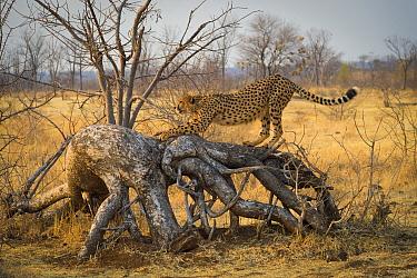 Cheetah (Acinonyx jubatus) stretches on a downed tree. Zimbabwe. September.