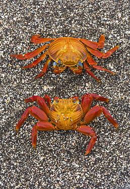 Sally lightfoot crabs (Grapsus grapsus) on the beach at Puerto Egas, Santiago Island, Galapagos, May.