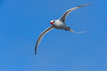 Red-billed tropicbird (Phaethon aethereus) in flight. Espanola Island, Galapagos, May.