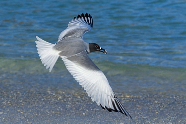 Swallowtail gull (Creagrus furcatus) flying with pebble in its beak, Genovesa Island, Galapagos, May.