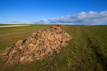Manure, mixed with straw ready to spread on machair, sandy farmland. North Uist, Scotland, UK, June.