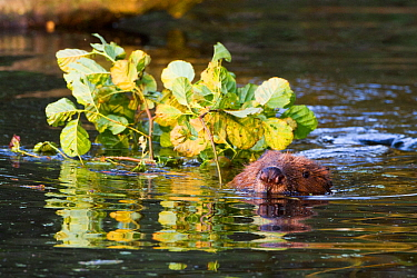 European Beaver (Castor fiber) carrying Alder (Salix glutinosa ) branches for winter food storage and to feed young Bevis Trust, Carmarthenshire, Wales, UK, June.