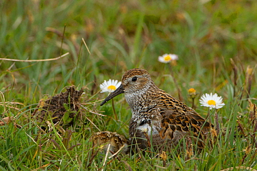 Dunlin (Calidris alpina) with chicks, North Uist, Outer Hebrides, Scotland, UK,