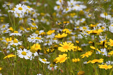 Corn Marigold (Chrysanthemum segetum) and Scentless mayweed (Tripleurospermum inodorum) machair habitat, North Uist, Scotland, UK, July.