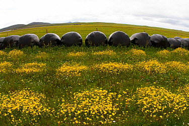 Strips of Corn Marigold (Chrysanthemum segetum) with silage bags on machair, Berneray, North Uist, Outer Hebrides, Scotland, UK, July.