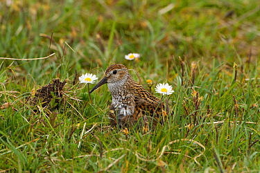 Dunlin (Calidris alpina) small wader with young in machair. North Uist, Scotland, UK, June.