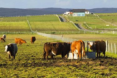 Cattle feeding station on croft, North Uist, Scotland, UK, June.