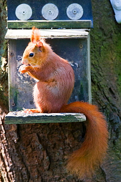 Red squirrel (Sciurus vulgaris) adult at feeder. Henllys, Anglesey, Wales, UK, April.