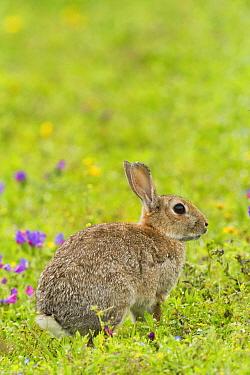 Rabbit (Oryctolagus cuniculus), grazing amongst Purple vipers bugloss, (Echium plantagineum) Cornwall, England, UK, July.