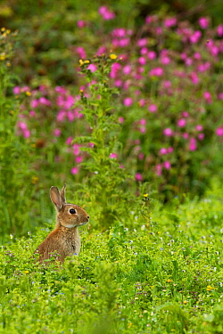 Rabbit (Oryctolagus cuniculus), grazing amongst Red Campion (Silene dioica) Cornwall, England, UK, July.