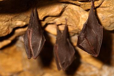 Lesser horseshoe bats (Rhinolophus hipposideros) in magnesium mine, Shropshire, England, UK, April.