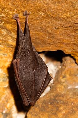 Lesser horseshoe bat (Rhinolophus hipposideros) in magnesium mine, Shropshire, England, UK, April.