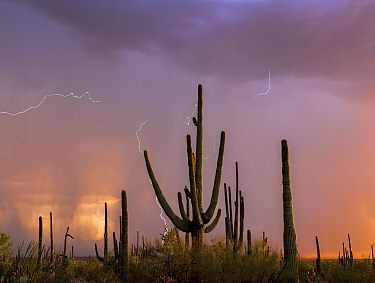 Saguaro cacti (Carnegia gigantea) at sunset, during a summer rain storm. Saguaro National Park, Sonoran Desert, Arizona, USA, August. Digital composite.