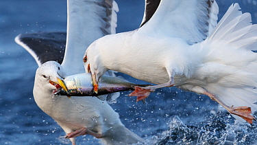 Herring gulls (Larus argentatus) feeding on Herring (Clupea harengus) Troms, Norway.