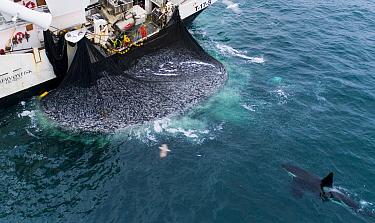 Herring boat with net full of Herring (Clupea harengus). Killer whales / orcas (Orcinus orca) feeding around the boat. Troms, Norway.