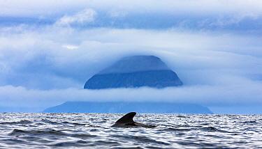 Long-finned pilot whale (Globicephala melas). Kvaloya, Norway.