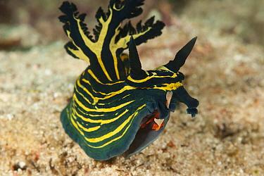 Nudibranch (Tambja afinis) with a Imperator commensal shrimp (Periclimenes imperator / Zenopontonia rex) hitchhicker, Raja Ampat, West Papua, Indonesia