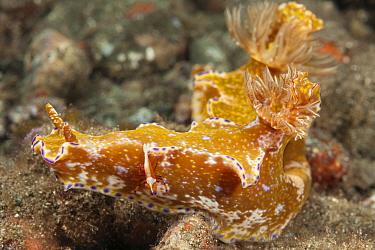 Nudibranch (Ceratosoma teneu) with a Imperator commensal shrimp (Periclimenes imperator / Zenopontonia rex) hitchhicker Raja Ampat, West Papua, Indonesia