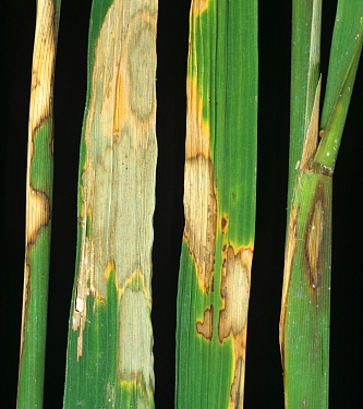 Sheath blight (Rhizoctonia solani) disease bleached lesions on leaves and stems of Rice (Oryza sativa), Luzon, Philippines