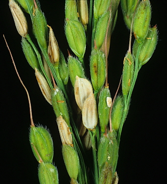 Sheath blight (Rhizoctonia solani) diseased bleached lesions on grains on a Rice (Oryza sativa) ear, Luzon, Philippines