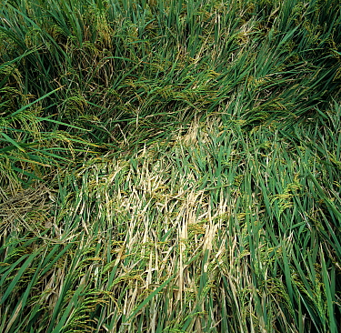 Sheath blight (Rhizoctonia solani) bleached lesions on leaves of diseased flattened Rice (Oryza sativa) crop, Luzon, Philippines